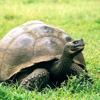 Galápagos Giant Tortoise - Animals & Pets